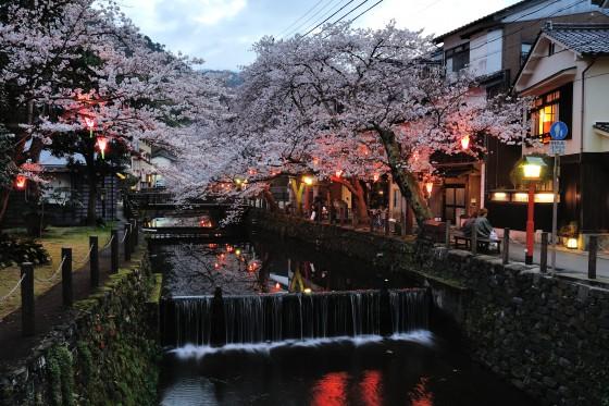 城崎温泉の桜 20160401